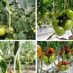Plastikiniai kabliukai pomidorams 50 vnt.